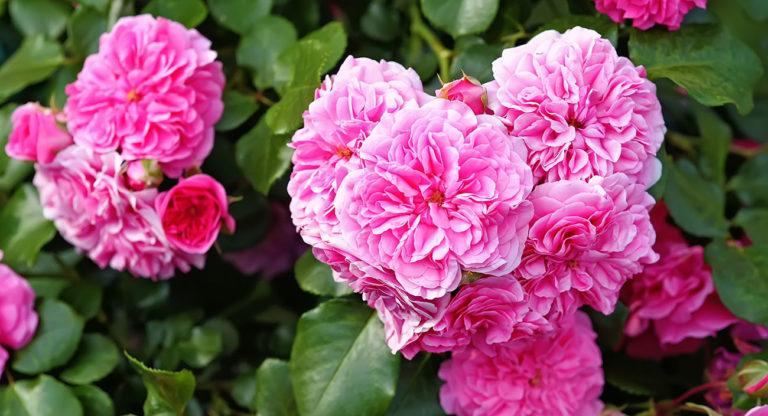 Rose für Rosenwasser